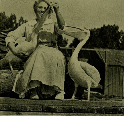 A woman feeding pelicans.