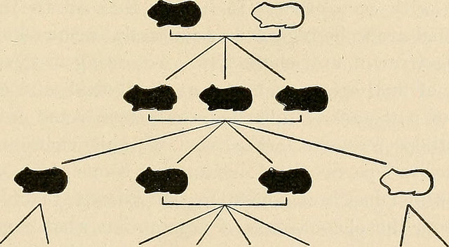 A chart showing simple Mendelian inheritance