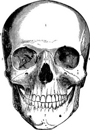 Drawing of a human skull