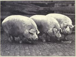 A picture of three hogs.